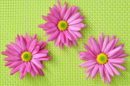 dar un regalo: algunos crisantemos de color rosa sobre un fondo tejido verde