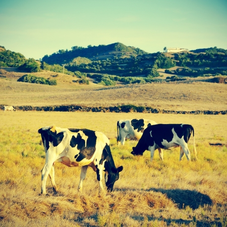 pasturage: picture of some cows grazing in Menorca, Balearic islands, Spain, with a retro effect Stock Photo