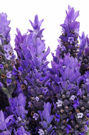 botanical remedy: closeup of some lavender flowers on a white background Stock Photo