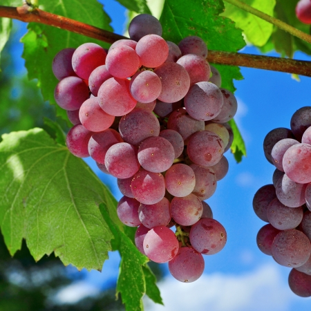 closeup of bunch of ripe grapes on a vine, shortly before harvest