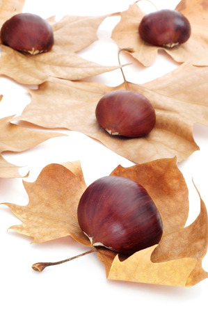 tots: a pile of chestnuts on autumn leaves on a white background