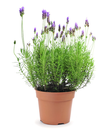 flower pot: a lavender plant in a flowerpot on a white background