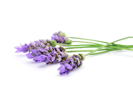 closeup of some colorful lavender flowers on a white background photo