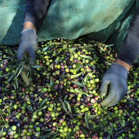 crop harvesting: harvesting arbequina olives in an olive grove in Catalonia, Spain