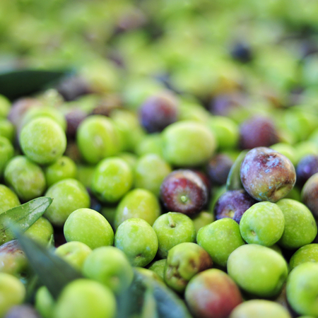 picked: a pile of arbequina olives after harvesting