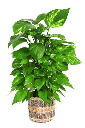 indoor plants: a Epipremnum aureum plant on a white background Stock Photo
