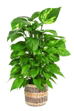 climbing plant: a Epipremnum aureum plant on a white background Stock Photo