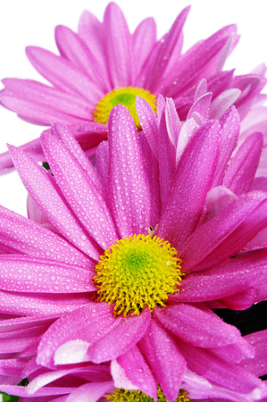 closeup of some pink gerbera daisies on a white background photo