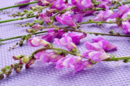 common snapdragon: some violet snapdragon flowers on a violet background Stock Photo