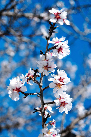 closeup of an almond tree in full bloom photo
