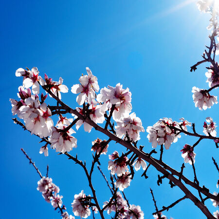 closeup of an almond tree in full bloom with a retro effect photo