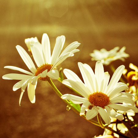 closeup of a some daisies in a sunny day photo