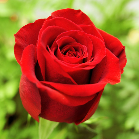 closeup of a beautiful red rose in a garden photo
