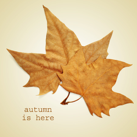 the sentence autumn is here and a pile of dried leaves on a beige background with a retro effect photo