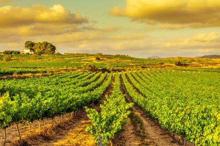 Blick auf einem Weinberg mit reifen Trauben in einem Mittelmeerland bei Sonnenuntergang