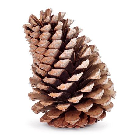closeup of a pine cone on a white background photo
