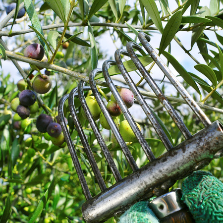 harvesting arbequina olives in an olive grove in Catalonia, Spain photo