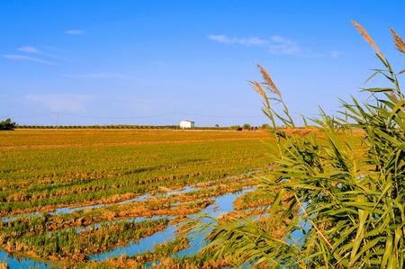 view of a paddy field in Delta del Ebro, in Catalonia, Spain