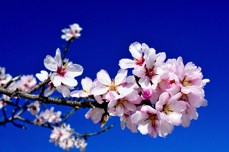 closeup of a branch of an almond tree in full bloom over the blue sky photo