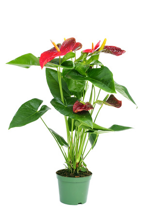 anthurium: a flamingo lily plant in a plant pot on a white background