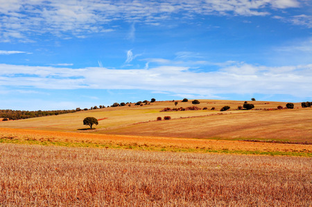 cropland: view of a cornfield landscape in the province of Soria, in Spain