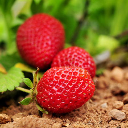 strawberry plant: closeup of some ripe strawberries in the plant, in an organic orchard Stock Photo