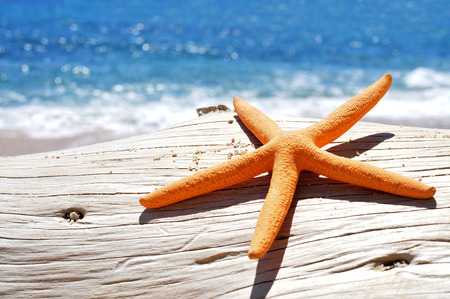 seastar: closeup of an orange seastar on an old washed-out tree trunk in the beach, with a bright blue sea in the background