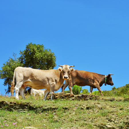 pyrenean: some brown cows grazing free in the countryside in Spain Stock Photo