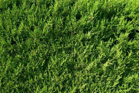 closeup of a goldcrest cypress