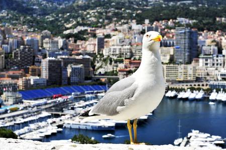 carlo: closeup of a seagull with the Port Hercules in La Condamine and Monte Carlo, in Monaco, in the background Stock Photo