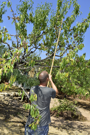 nut trees: closeup of a young caucasian man hitting with a stick the branches of an almond tree during the harvesting Stock Photo