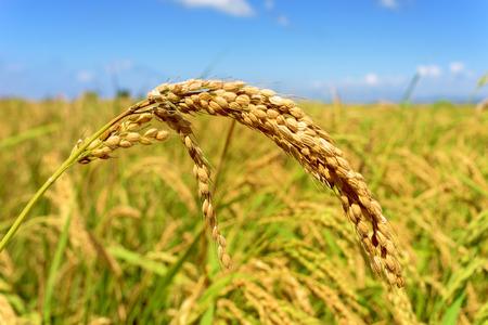 Nahaufnahme einer Reispflanze in einem Reisfeld im Ebro-Delta, in Katalonien, Spanien Standard-Bild - 44556994