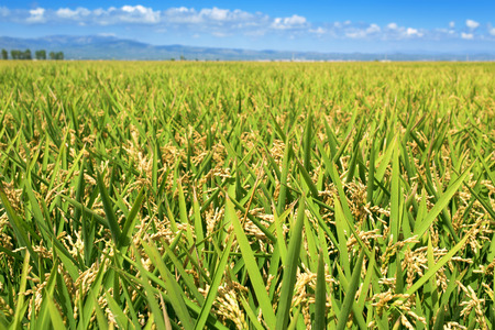 panoramic view of a paddy field in the Ebro Delta, in Catalonia, Spain, with the ripe rice in the plant before harvesting 版權商用圖片 - 44630533