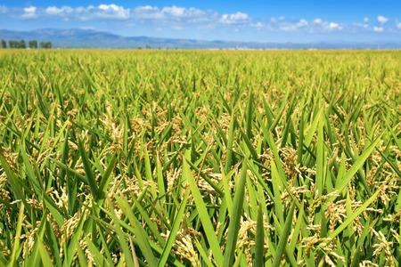 panoramisch uitzicht op een rijstveld in de Ebro-delta, in Catalonië, Spanje, met de rijpe rijst in de plant vóór het oogsten