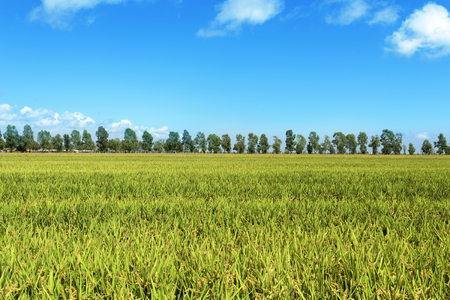 ebre: panoramic view of a paddy field in the Ebro Delta, in Catalonia, Spain, with the ripe rice in the plant before harvesting