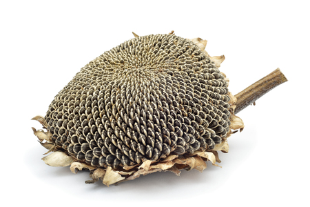 edible plant: a dried sunflower with its seeds, on a white background