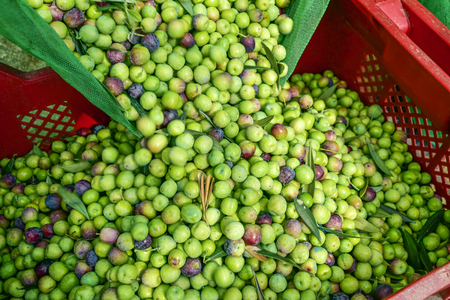 closeup of a plastic crate full of arbequina olives during the harvesting in an olive grove in Catalonia, Spain