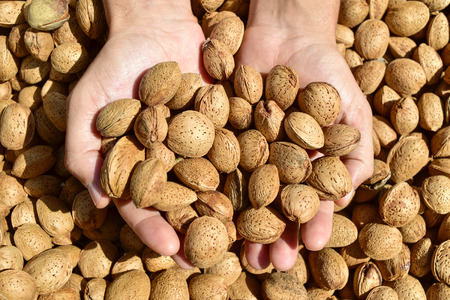 man nuts: closeup of the hands of a young man with a pile of almonds in shell after harvesting