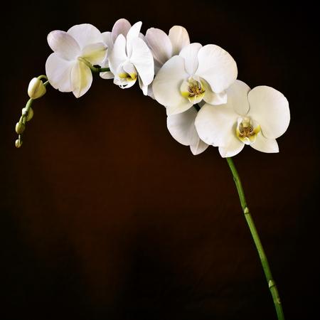 afrodita: detalle de las hermosas flores blancas de una orqu�dea Phalaenopsis aphrodite contra un fondo de color marr�n degradado Foto de archivo