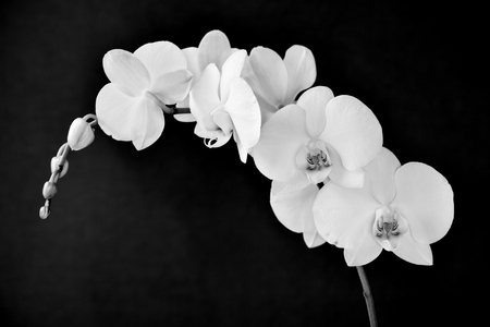 aphrodite: detail of the beautiful white flowers of a Phalaenopsis aphrodite orchid in black and white