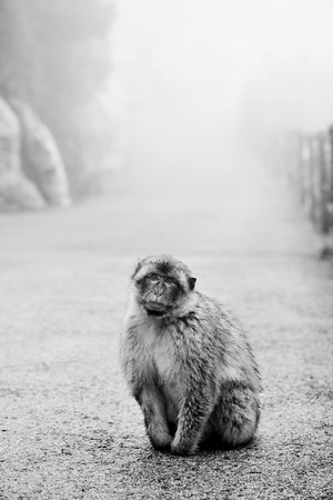 omnivore animal: a wild Barbary macaque through the fog in the Rock of Gibraltar, in black and white