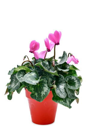 popularly: a Cyclamen hederifolium, popularly known as sowbread, with pink flowers in a red plant pot on a white background Stock Photo