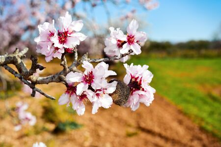 almond: closeup of the branch of an almond tree in full bloom in a natural landscape