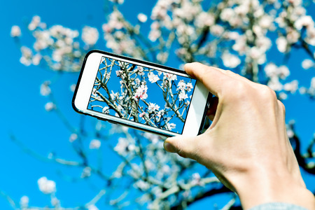 ecotourism: closeup of a young caucasian man taking a picture of an almond tree in full bloom with his smartphone