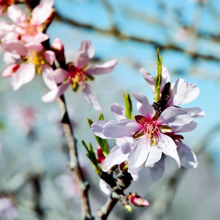 flowering: closeup of the branch of an almond tree in full bloom Stock Photo