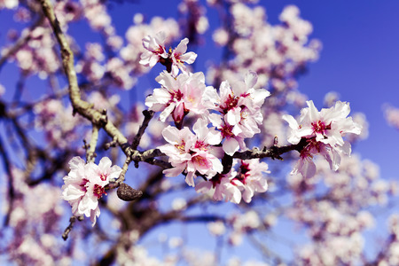 closeup of the branch of an almond tree in full bloom, with many nice pink flowers