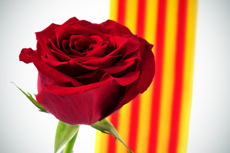 saint: closeup of a natural red rose and the Catalan flag in the background, for the Saint George Day celebrated in Catalonia, Spain, where is tradition to give roses