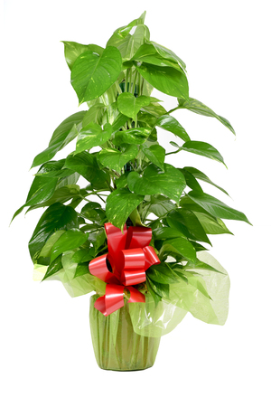 giftwrapped: a gift-wrapped Epipremnum aureum plant with a red ribbon on a white background