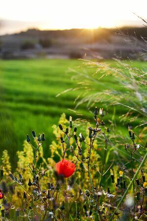 fiori di campo: la vista di un paesaggio di campagna, con un papavero e alcuni fiori in primo piano, al tramonto Archivio Fotografico
