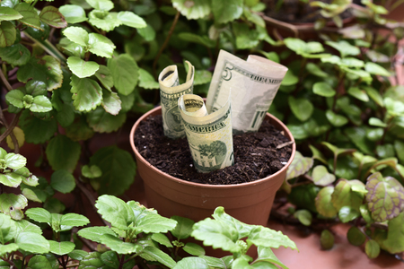 poorness: some dollar bills in a brown plant pot next to a Plectranthus verticillatus plant, considered in some countries as a money plant